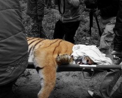 File image of a Poisoned Tiger, Courtesy WWF