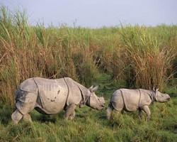 Greater one-horned Rhino. Image via savetherhino.org