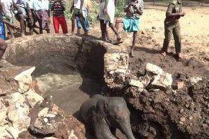 Elephant Calf Rescued from Well