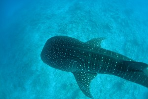 Whale shark Pups Pay the Price of Damaged Nets