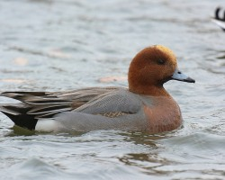 Eurasian Wigeon, one of the many birds spotted around the Ousteri Lake