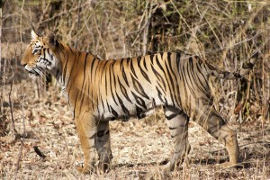 Tigers Living Outside Protected Areas in Maharashtra