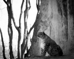 snow-leopard-173126_640