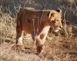 lion-441971_1280