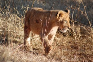 Open Wells Claim Lives of Two Lion Cubs in Gujarat