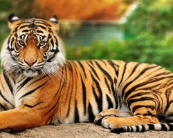 bengal-tiger-gazzing