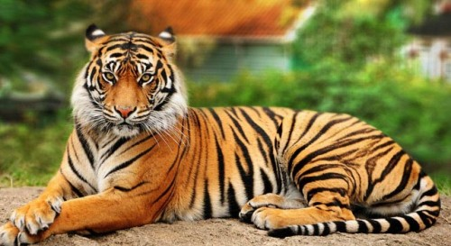 What is the difference between a Sumatran Tiger and a Bengal Tiger?