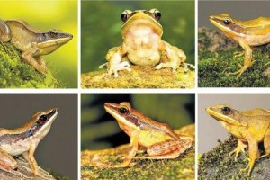 New Species of Golden-backed Frog Discovered