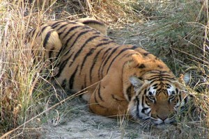 Tigress knocked down by Train in Uttarakhand