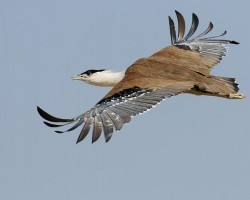 rare-birds-photo-contest-great-indian-bustard_32639_600x450