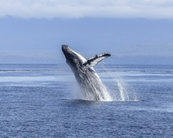 Humpback Whales Sing at Night to Hunt and Communicate