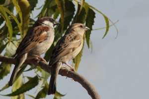 Villagers Plan Wedding of Sparrows on World Sparrow Day