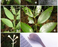 New Plant Species of Camphor Discovered in the Western Ghats