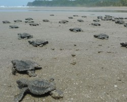 Millions of Olive Ridley Turtles Hatch in India's Largest Rookery
