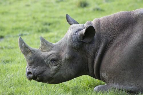 rhino-714232_1280