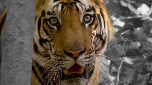 tiger-532060_640