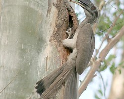New Nesting Ideas Helping Grey Hornbills Survive in Treeless Cities