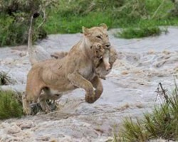 Endangered Asiatic Lions Drown in Flash Floods in Gujarat