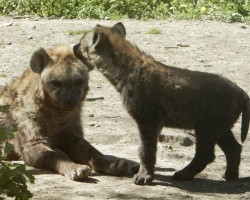 'Your Friend is My Friend' Say the Hyenas