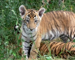 Tiger Numbers on the rise in Andhra Pradesh and Telengana