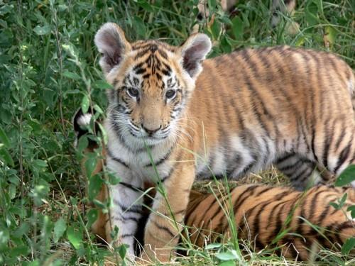 tiger-165073_640