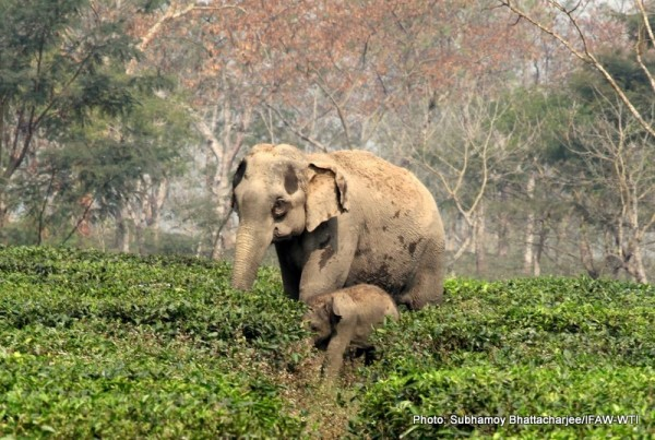 The stranded mother elephant with her calf at Lakhoojan tea garden on 23rd February 2016. Photo: Subhamoy Bhattacharjee/IFAW-WTI