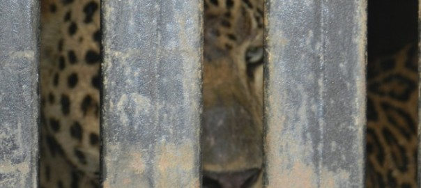 leopard-140330_640