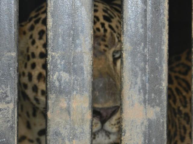 habitat of indian leopard