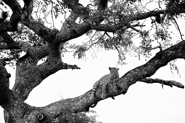 leopard-on-tree-1076253_640