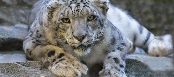 snow-leopard-1006542_640