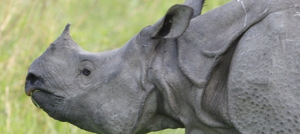 Rhino_female_-_Flickr_-_Lip_Kee