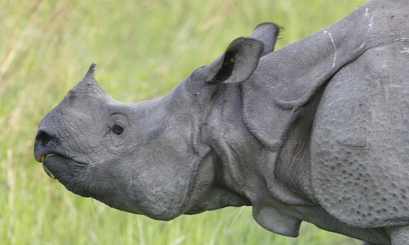 Rhino_female_-_Flickr_-_Lip_Kee