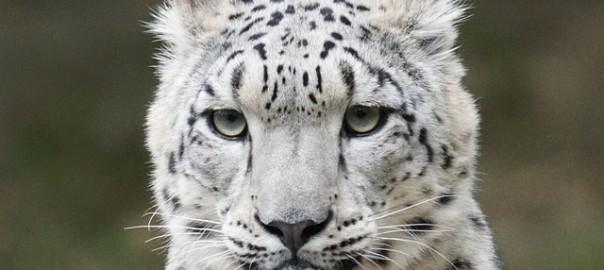 snow-leopard-931222_640