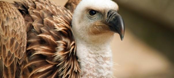 vulture-1270985_640