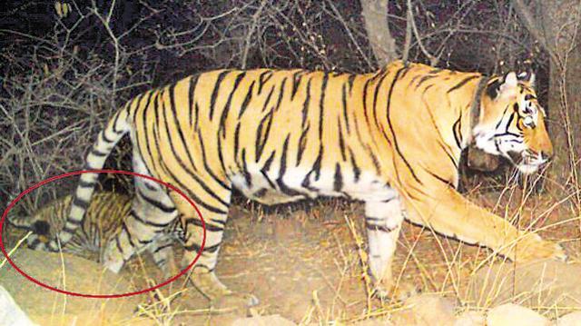 sariska-wednesday-morning-reserve-walking-tigress-caught_7c15dbb6-1d1d-11e6-9a57-4ae968dd8e7b