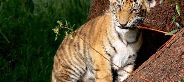 tiger-164586_640