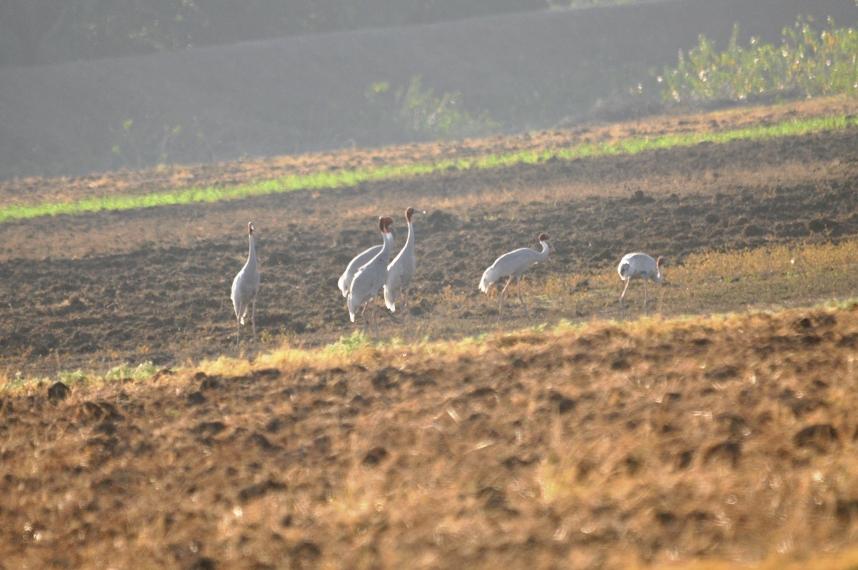 sarus-crane-3