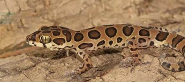cyrtodactylus-varadgirii-lizard_650x400_51474966820