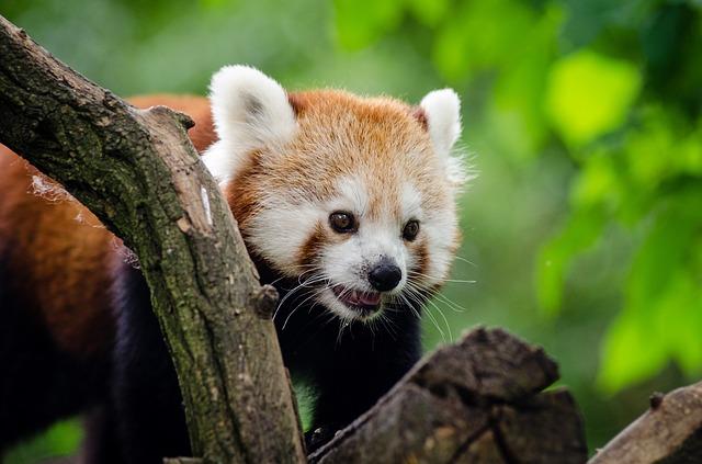 panda-1078851_640