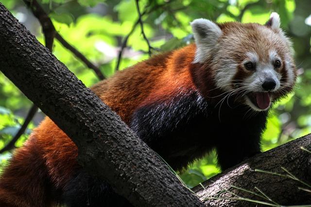 panda-471837_640
