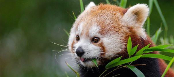 red-panda-1182078_640