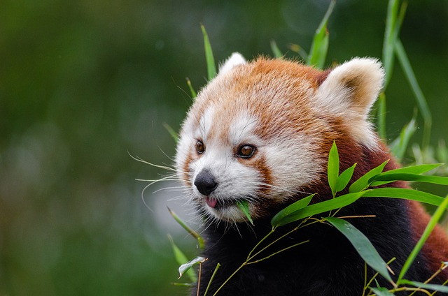 Image of: Facts Amazing Facts About The Red Panda 123rfcom Amazing Facts About The Red Panda Indias Endangered