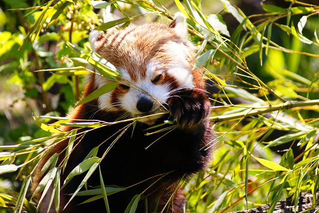 9 amazing facts about the red panda india s endangered