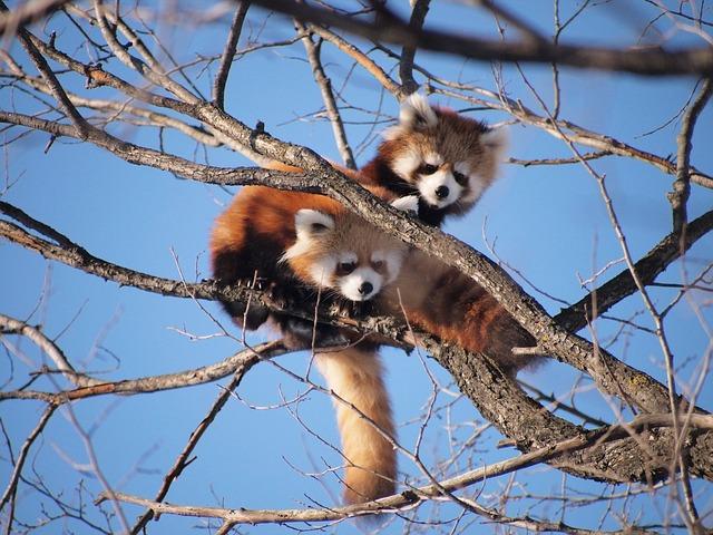red-panda-970798_640