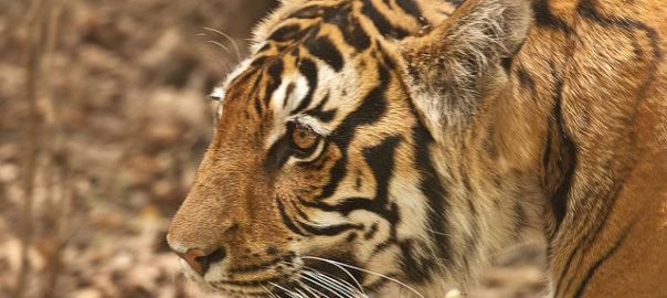 How The Ken Betwa Linking Project Might Lead To Loss Of Wildlife In Crucial Tiger Habitat