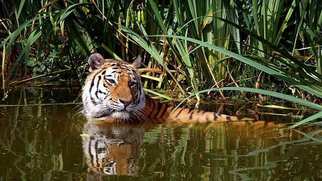 tiger-1560775_640