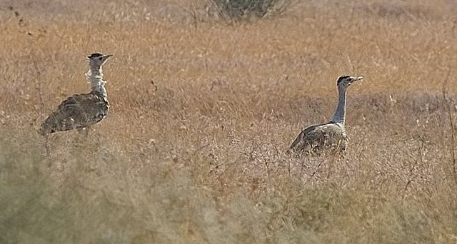 Great Indian Bustard at the park. Image via wikimedia
