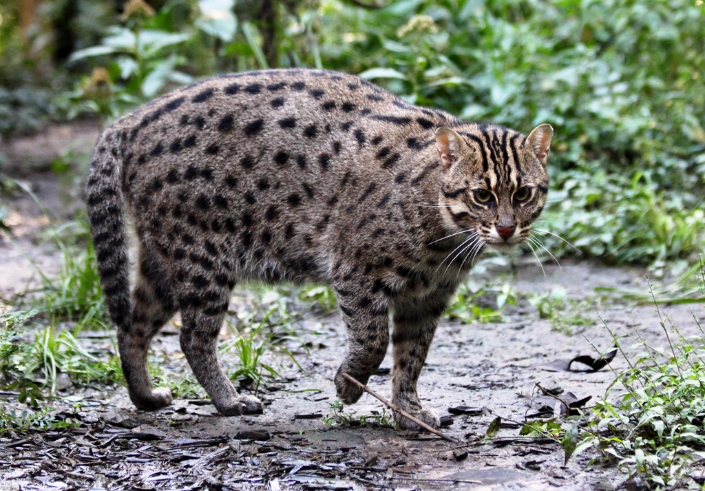 Conservation of fishing cats in eastern ghats of india for The fishing cat