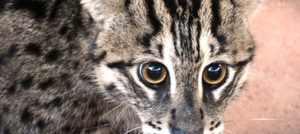 Conservation Of Fishing Cats In Eastern Ghats Of India