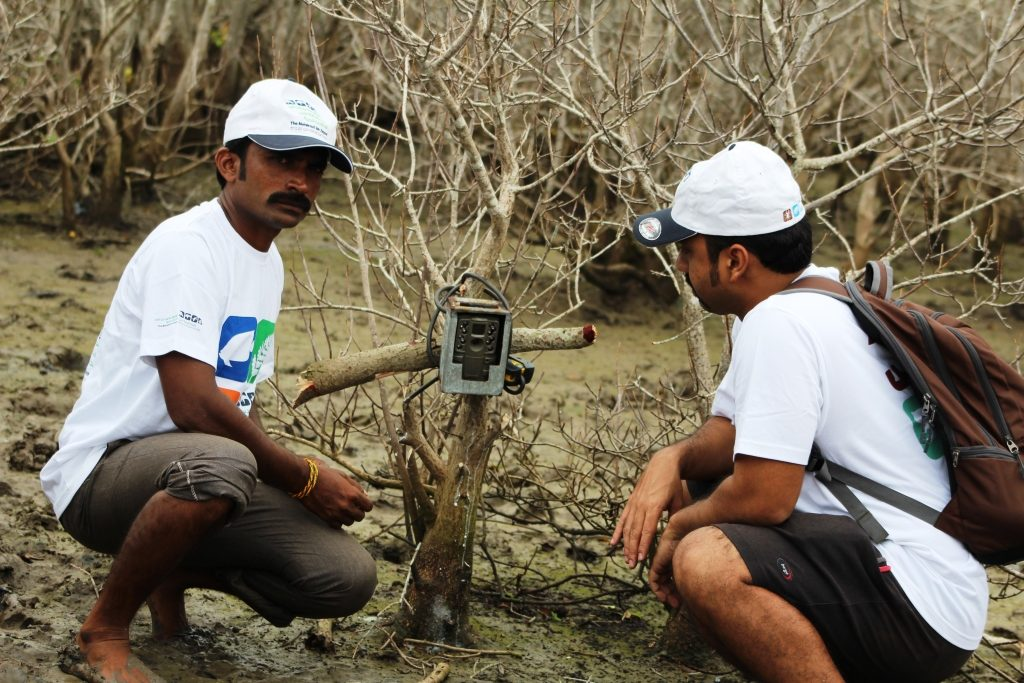 fixing camera traps in krishna mangroves to document fishing cat presence